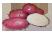Patata RUDOLPH